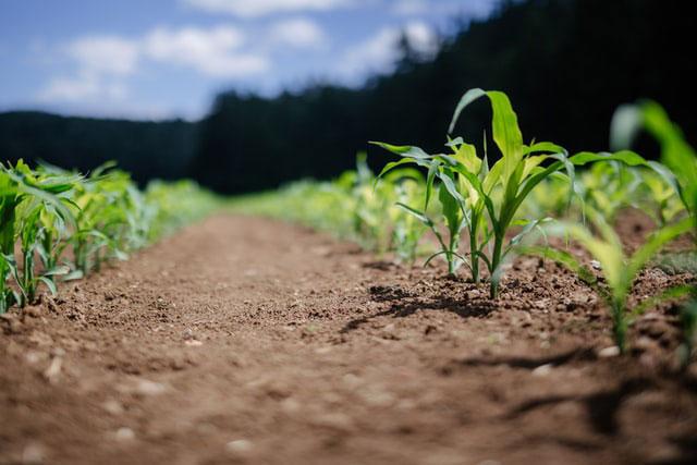 Różne zagrożenia dla upraw rzepaku